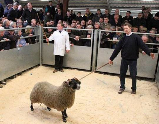Most expensive lamb: Blackface lamb from Perthshire