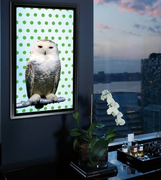 Snowy Owl video portraits